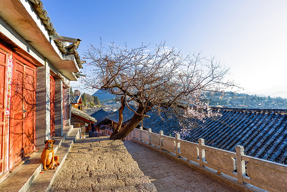 Dog sitting in the sun, with plum tree and Lijiang roofs, Lijiang, Yunnan, China, Asia