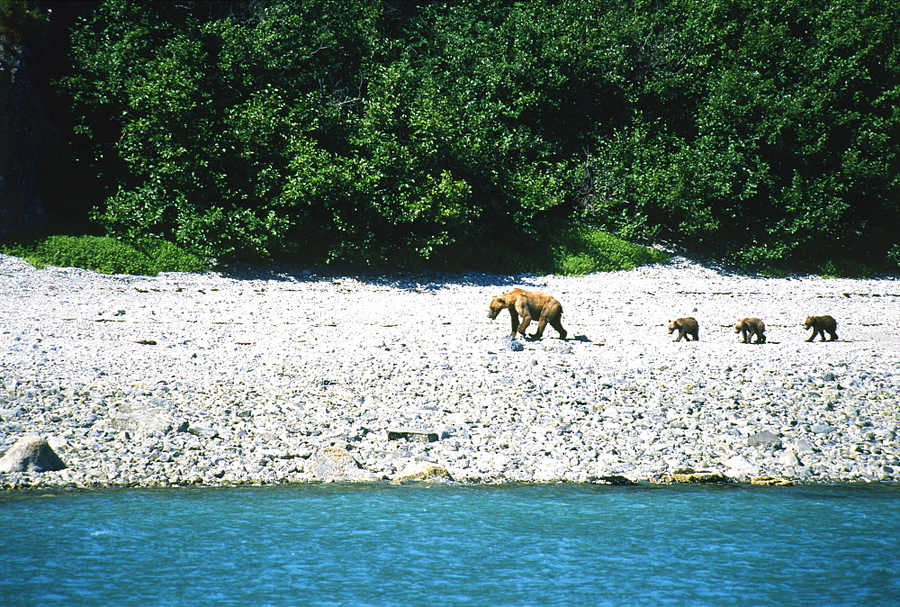 Mother Brown Bear Walking with her Cubs