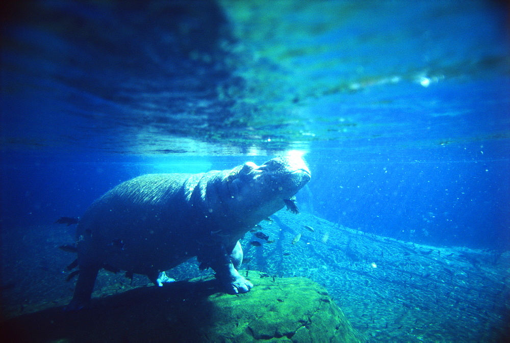 Hippopotamus Swimming Underwater
