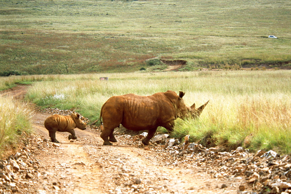 Mother and Baby Rhinoceros Walking
