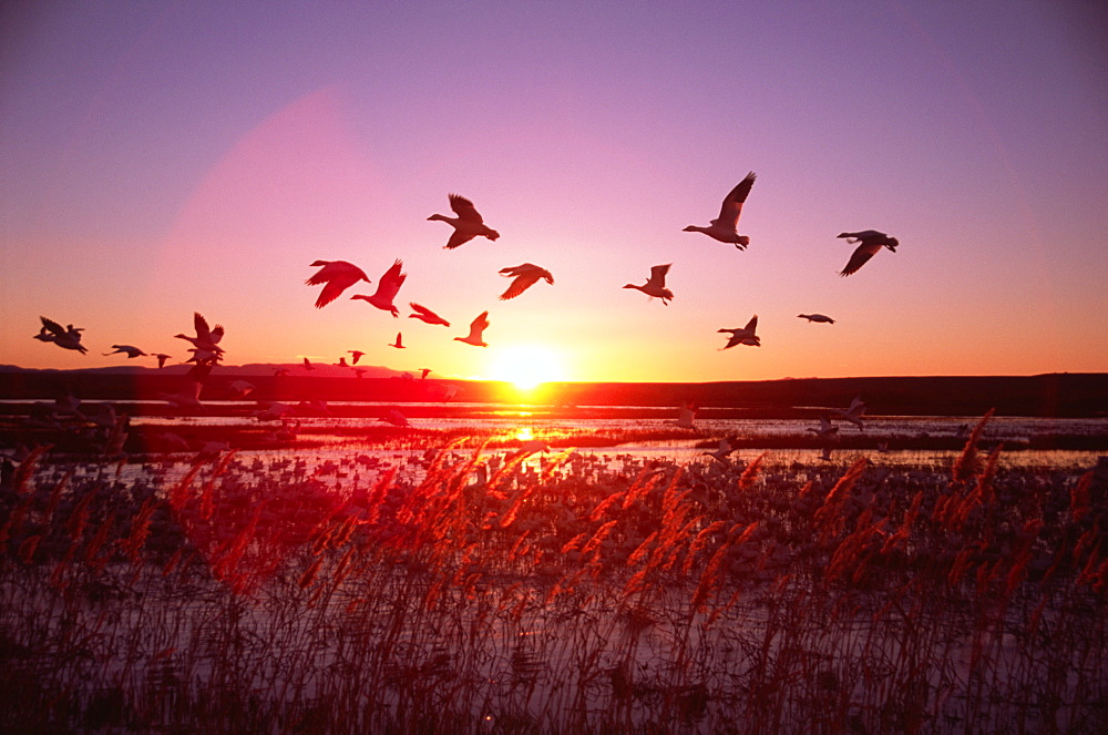 Ducks Flying in Evening View