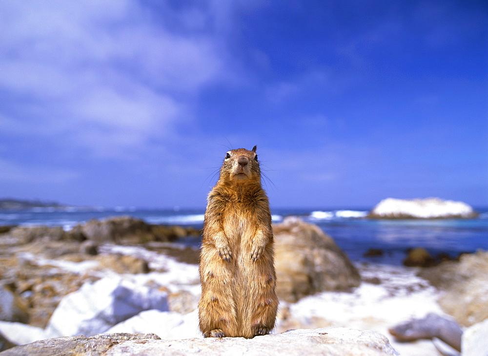 Californian Ground Squirrel