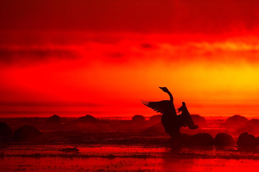 Whoopper Swan