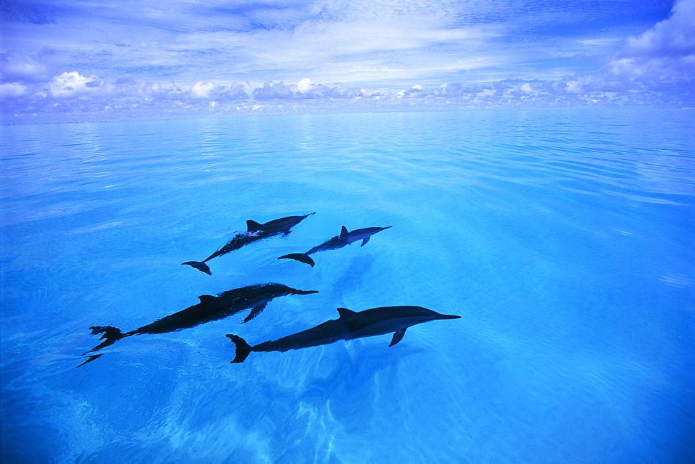Hawaiian Long Beaked Porpoise