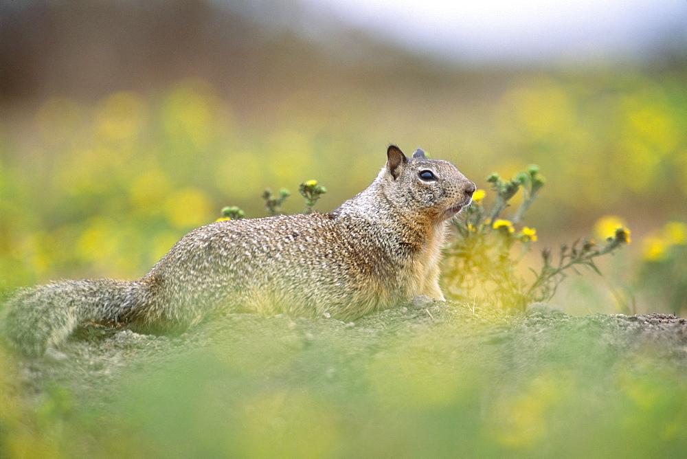 Californian Ground Squirrel - 1172-2013