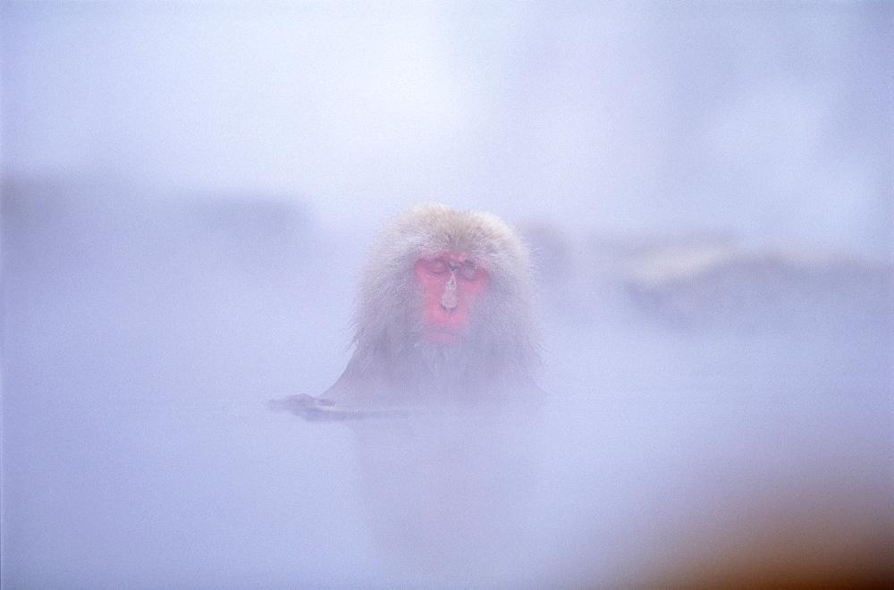 Japanese Monkey - 1172-2076