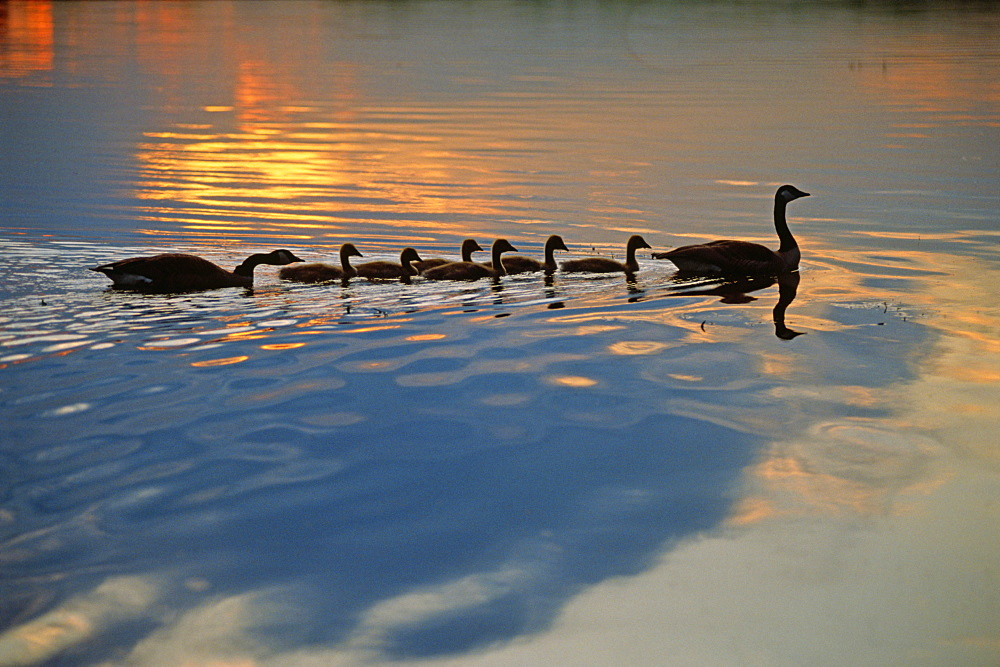 Family of Geese and Goslings