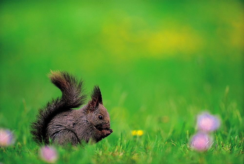Squirrel Nibbling on Something