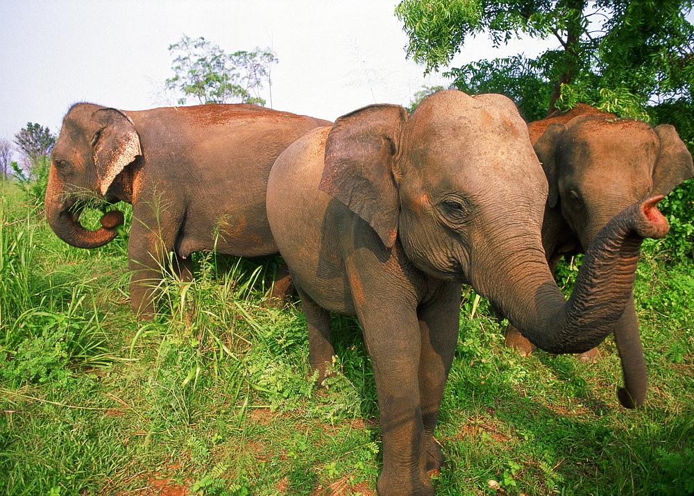 Herd of Indian Elephants walking in savanna