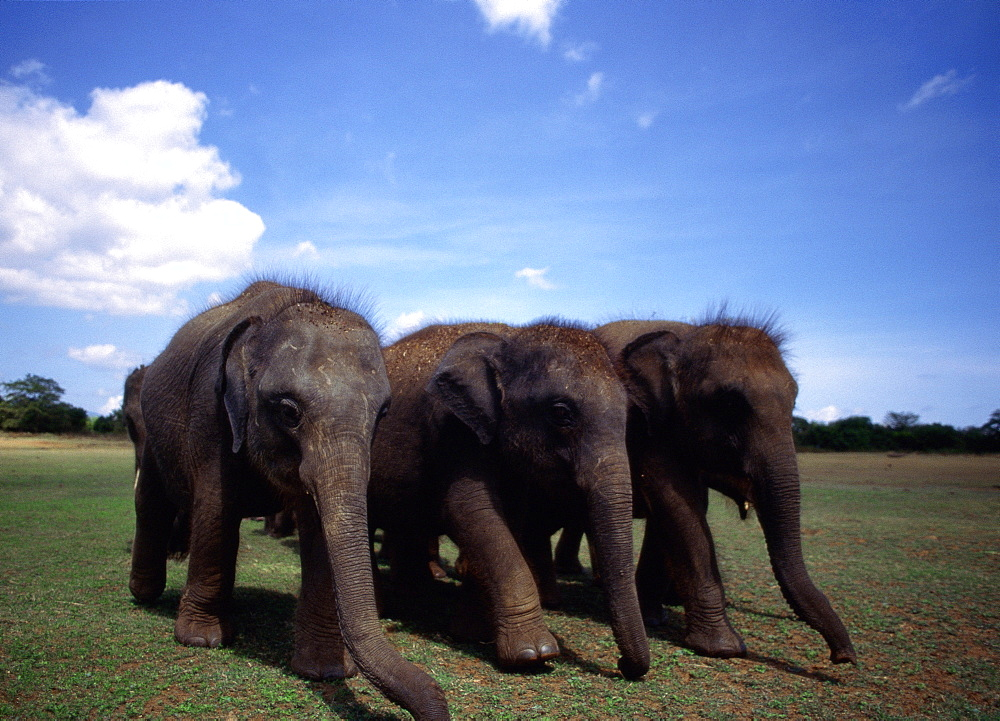 Three Indian Elephants