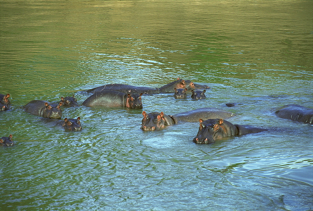 Bloat of Hippos bathing