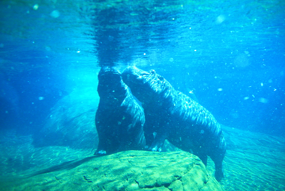 Hippopotami underwater