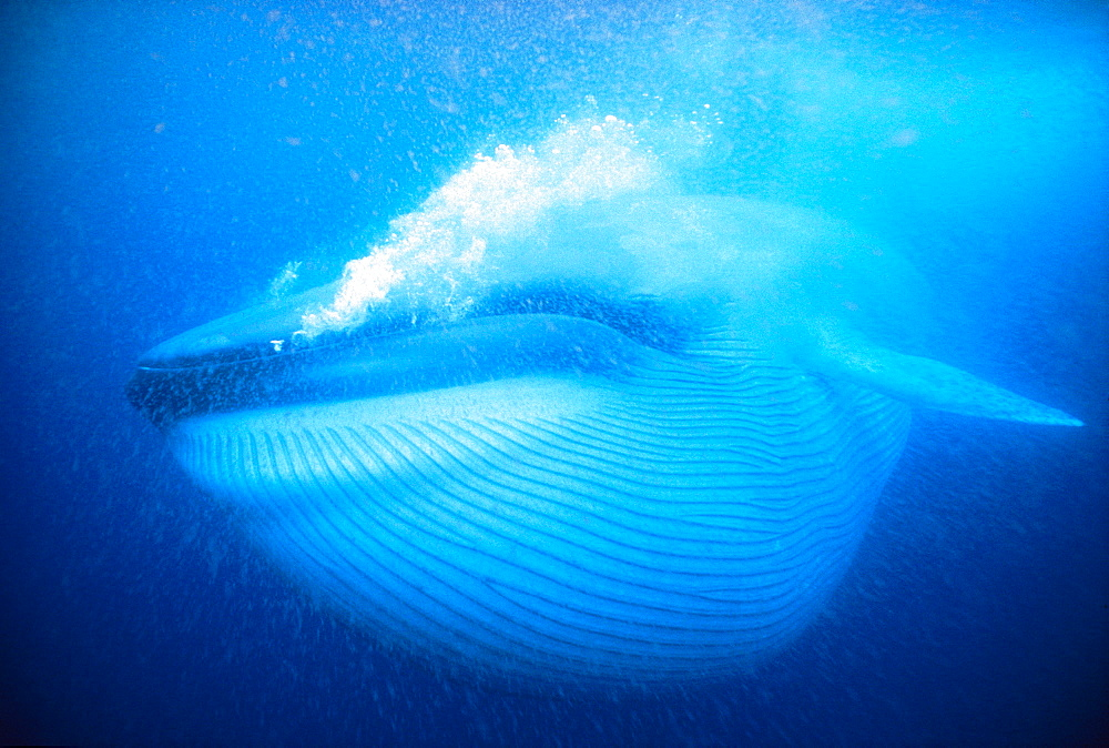 Blue Whale swimming - 1172-2132