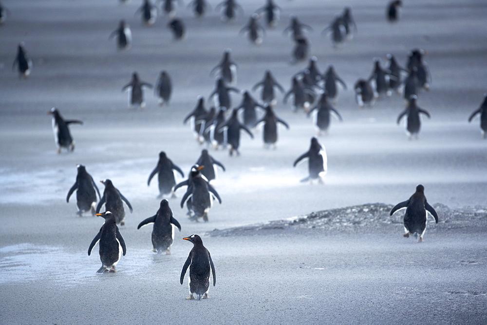 Penguin herd