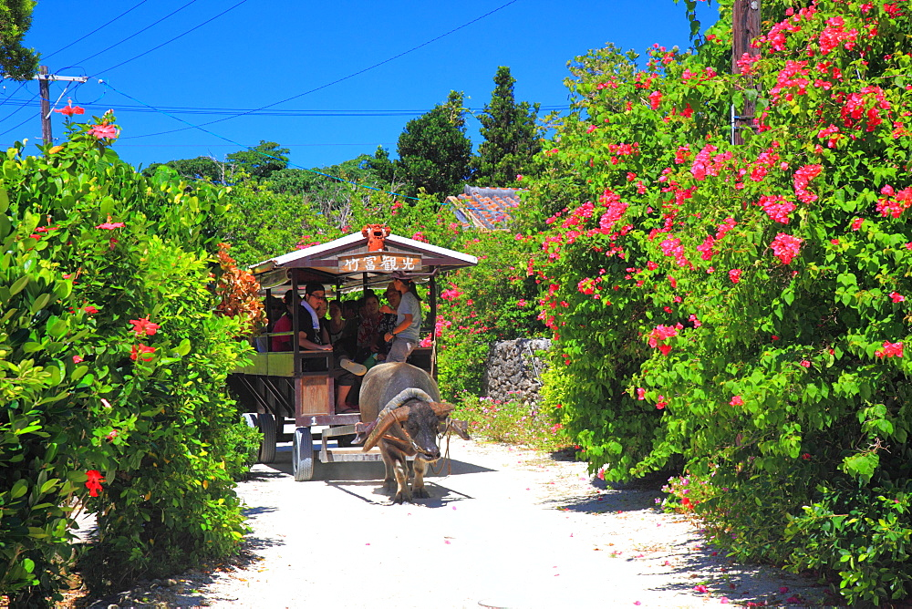 Buffalo Cart, Okinawa