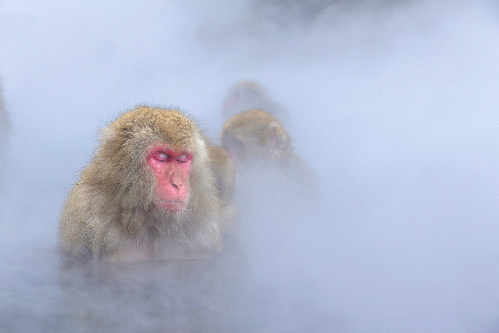 Snow Monkeys - 1172-2213