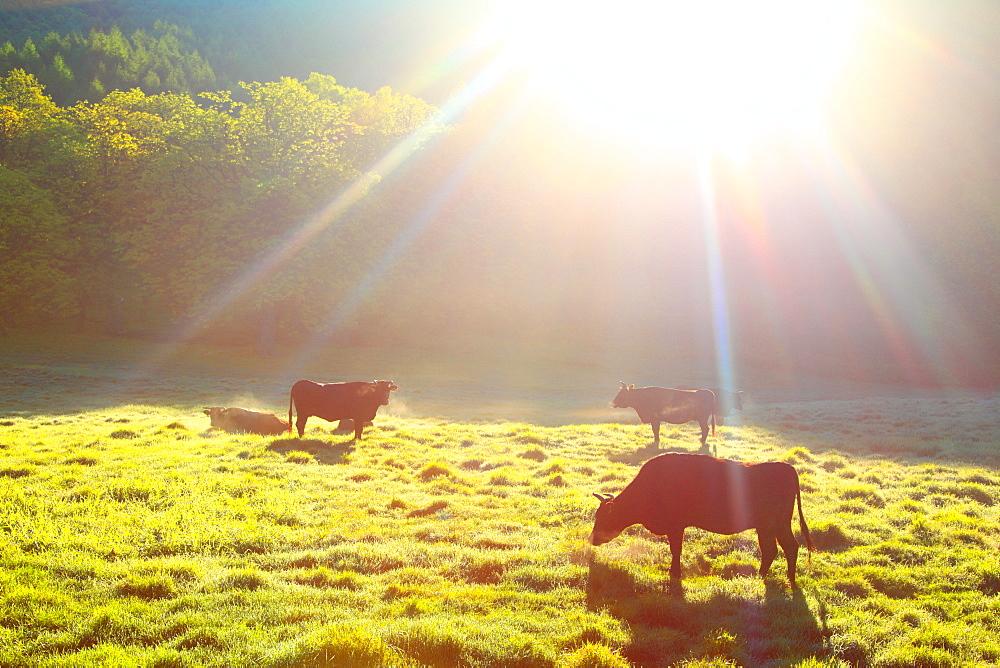Grazing cows, Japan