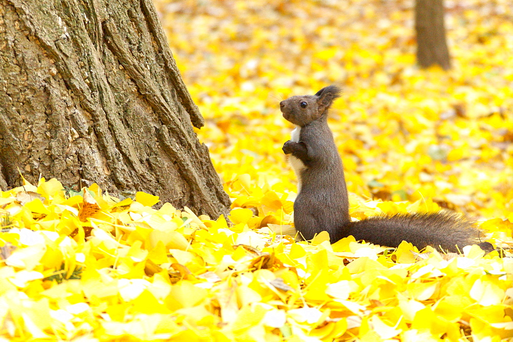 Hokkaido Squirrel