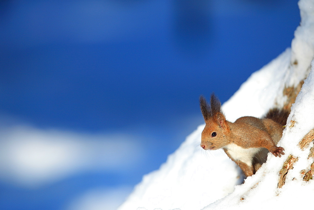 Hokkaido Squirrel, Hokkaido, Japan