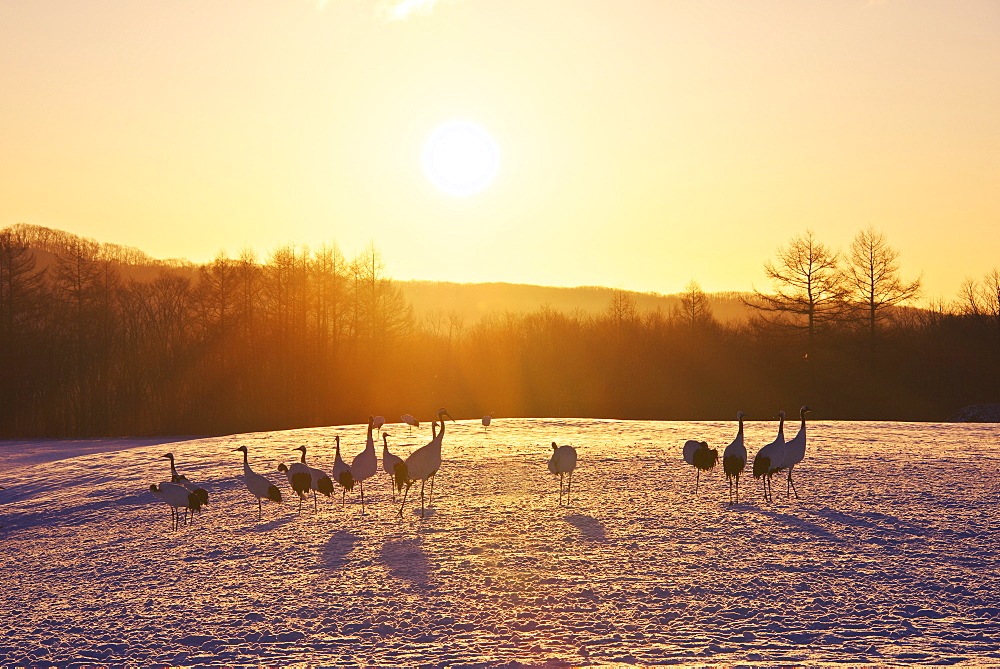 Red-Crowned Crane herd
