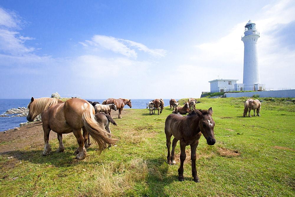 Hokkaido Horses grazing