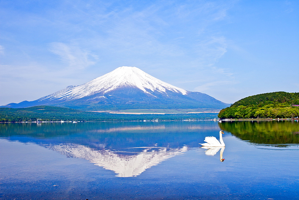 Swans Near Mount Fuji, Japan