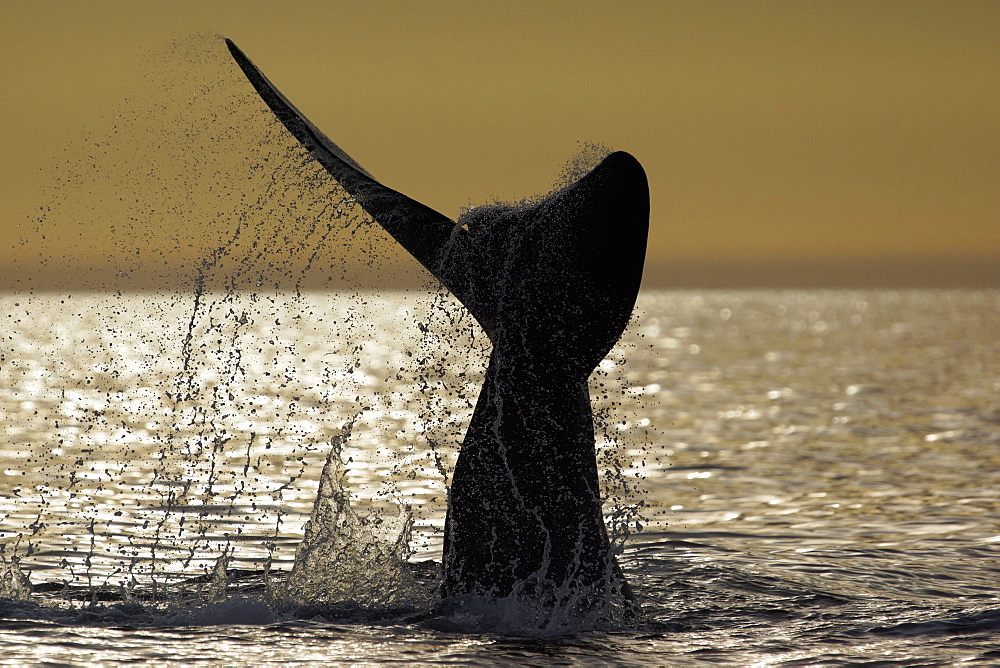 Whale swimming in the sea