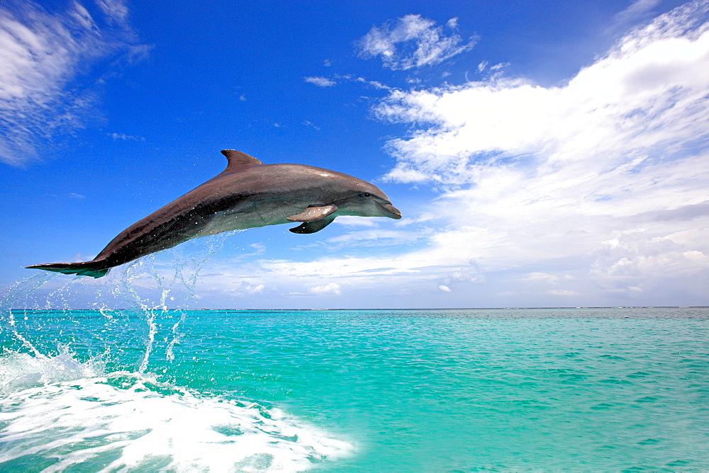 Dolphin, Honduras
