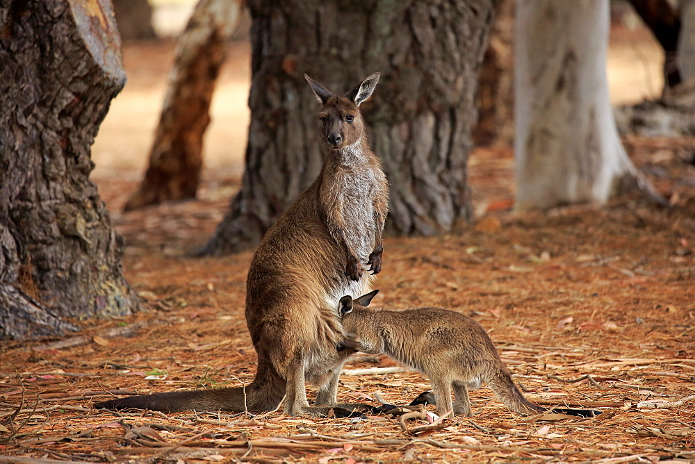 Kangaroo Island Kangaroo, (Macropus fuliginosus fuliginosus), adult with young suckling, mother with young looking in pouch, Kangaroo Island, South Australia, Australia