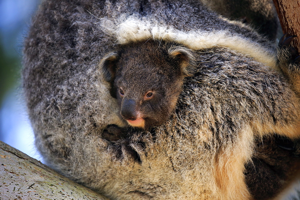Koala, (Phascolarctos cinereus), adult with young on tree, Kangaroo Island, South Australia, Australia