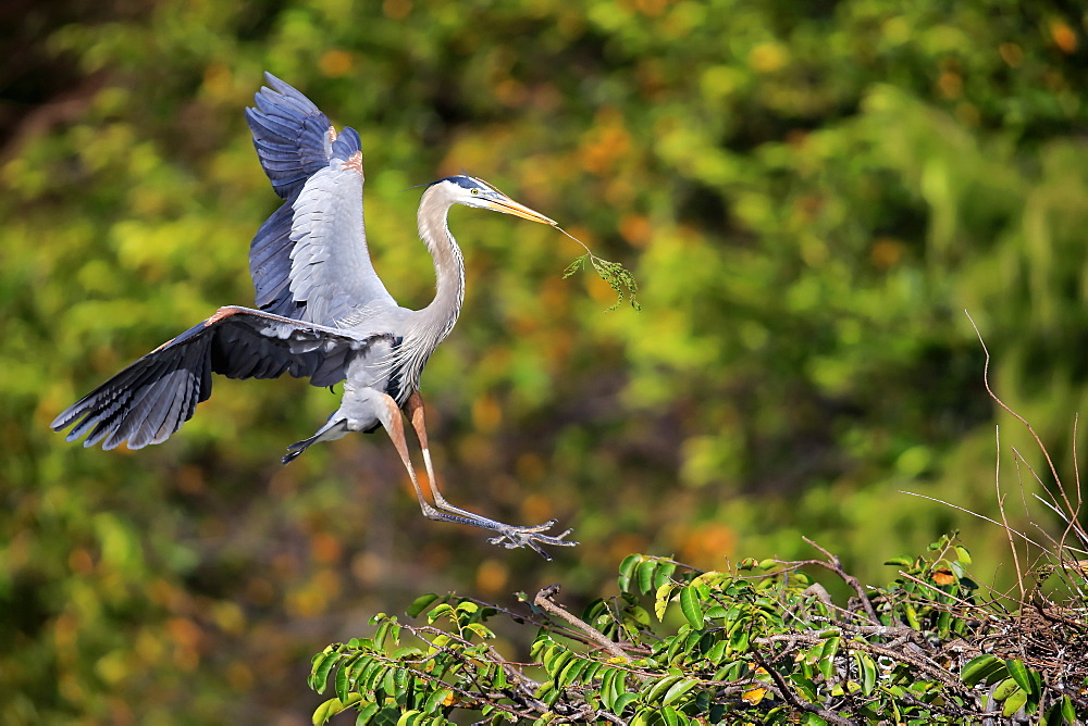 Great Blue Heron, (Ardea herodias), adult flying with nesting material, Wakodahatchee Wetlands, Delray Beach, Florida, USA