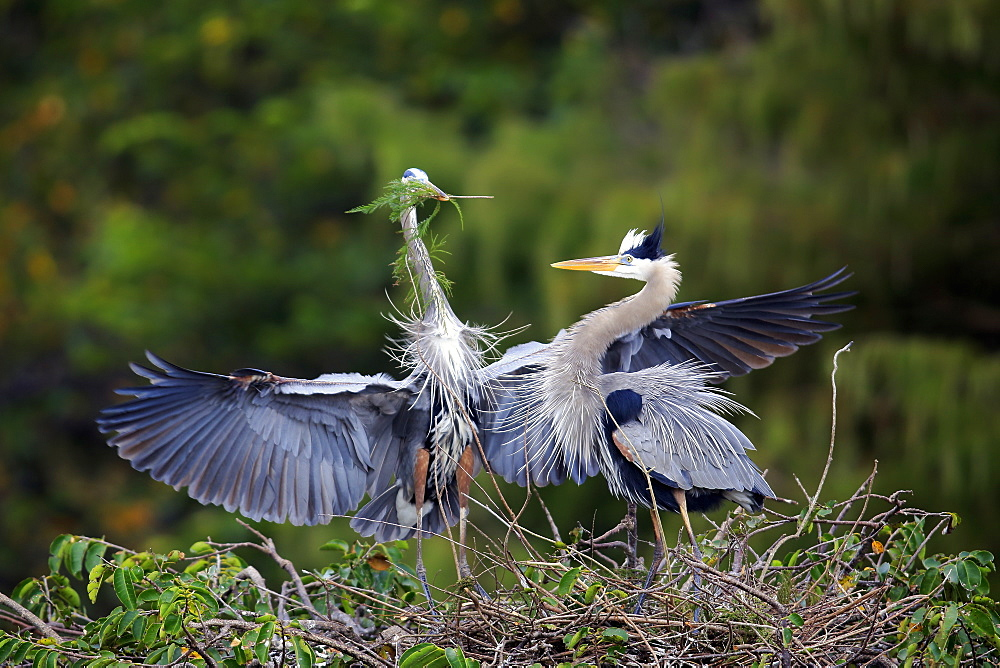 Great Blue Heron, (Ardea herodias), adult couple at nest with nesting material, social behaviour, Wakodahatchee Wetlands, Delray Beach, Florida, USA