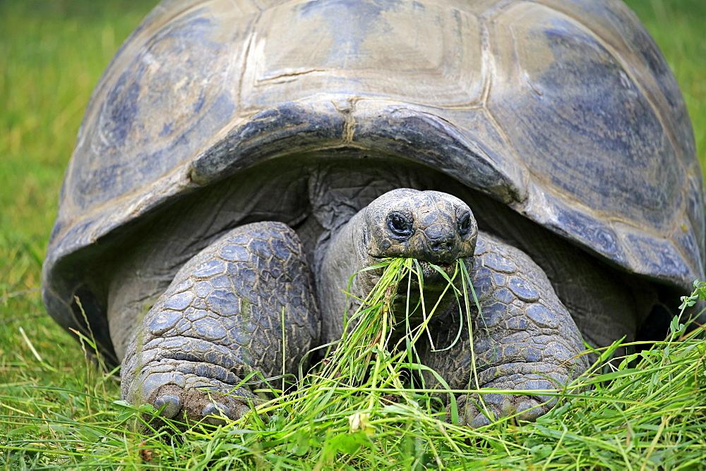 Seychelles giant tortoise, (Aldabrachelys gigantea), adult feeding portrait, Seychelles, Africa