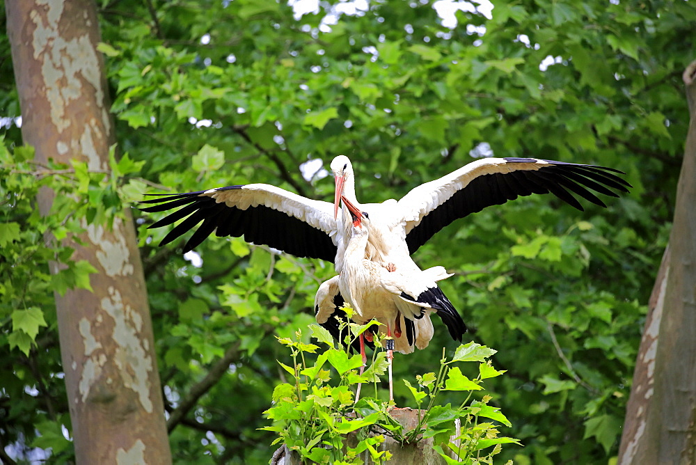 White Stork, (Ciconia ciconia), adult couple on tree mating, Heidelberg, Germany, Europe