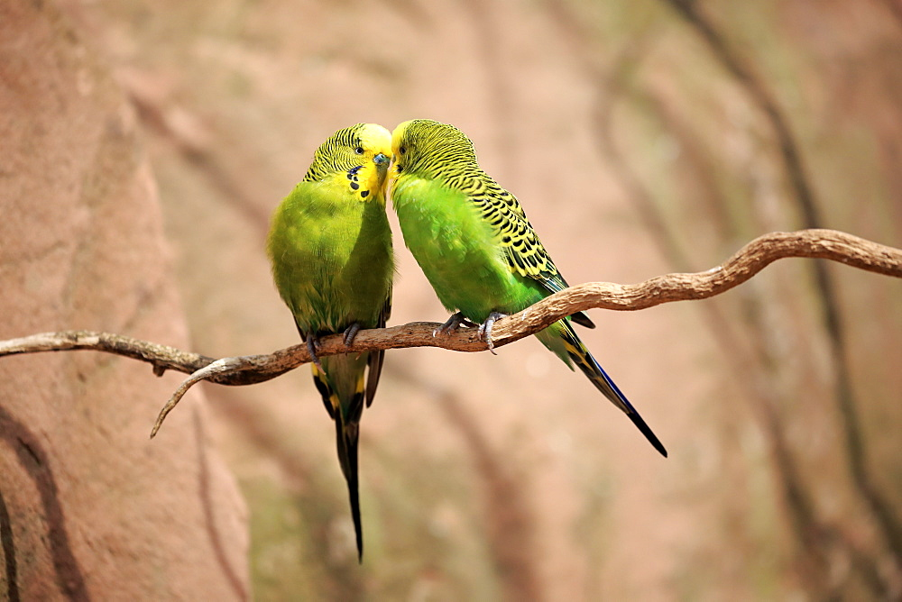 Budgerigar, (Melopsittacus undulatus), couple on tree social behaviour, Australia