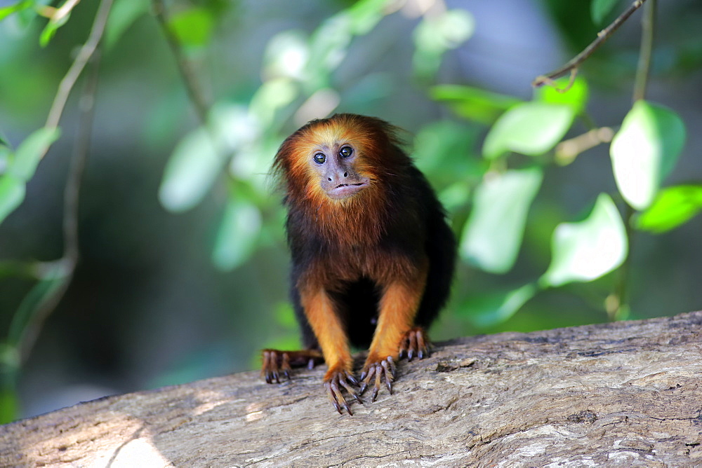 Golden Headed Lion Tamarin, (Leontopithecus chrysomelas), adult on tree alert, South America