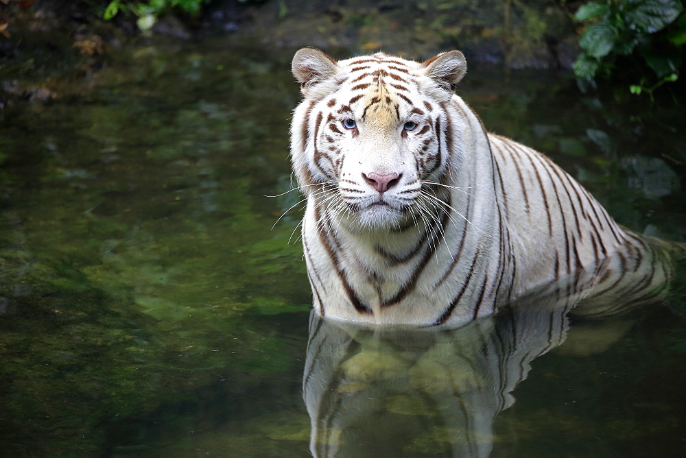 Indian Tiger White Form, White tiger, Bengal tiger, (Panthera tigris tigris), adult in water, India, Asia