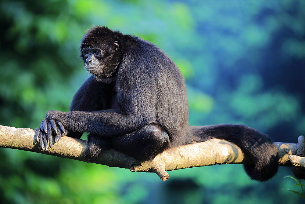 Black Spider Monkey, (Ateles paniscus), adult on tree relaxed, South America