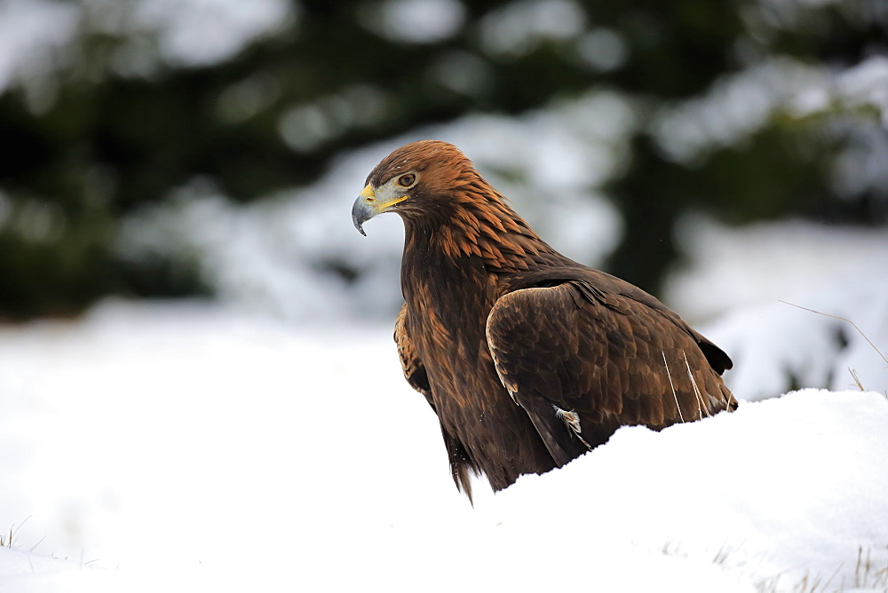 Golden Eagle, (Aquila chrysaetos), adult in snow, in winter, on ground, Zdarske Vrchy, Bohemian-Moravian Highlands, Czech Republic