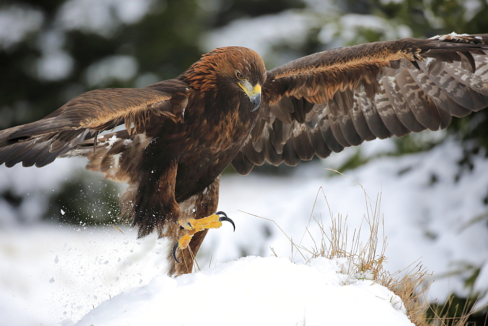 Golden Eagle, (Aquila chrysaetos), adult in snow starts flying, in winter, Zdarske Vrchy, Bohemian-Moravian Highlands, Czech Republic