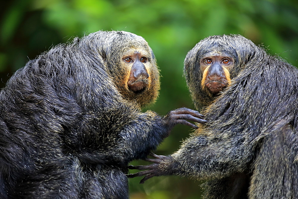 White-Headed Saki, (Pithecia pithecia), two adult females, social behaviour, South America