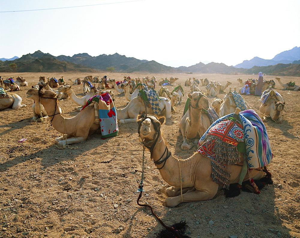 Camel, Egypt