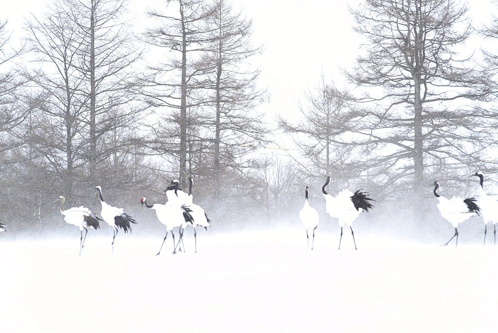 Cranes, Japan - 1172-2422