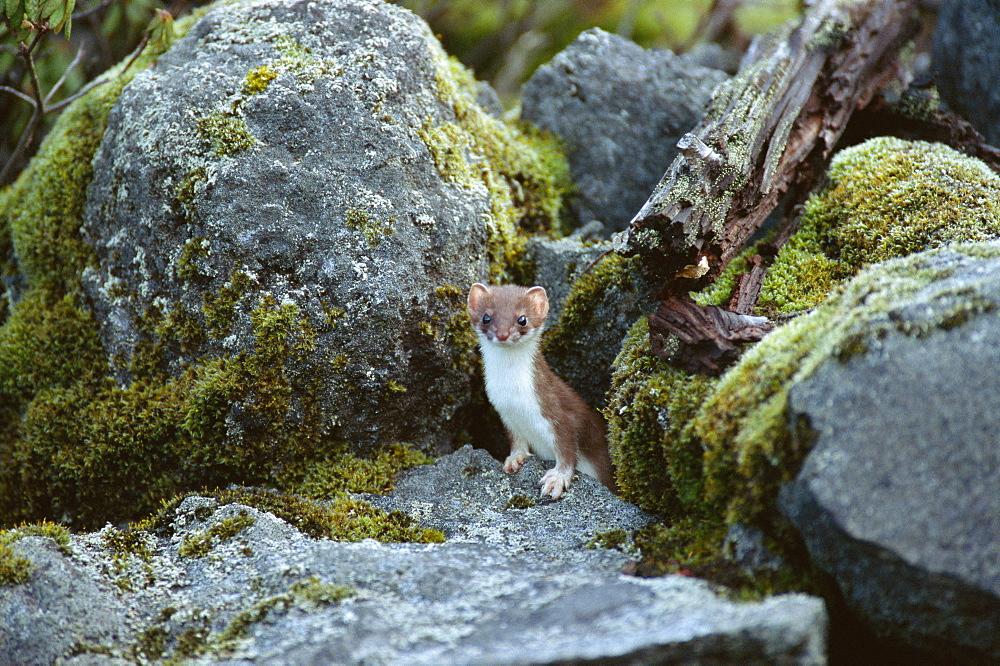 Ermine, Hokkaido, Japan