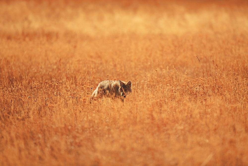 Coyote in grassland