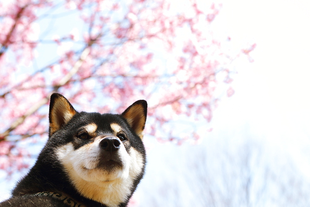 Shiba inu dog and blooming cherry blossoms