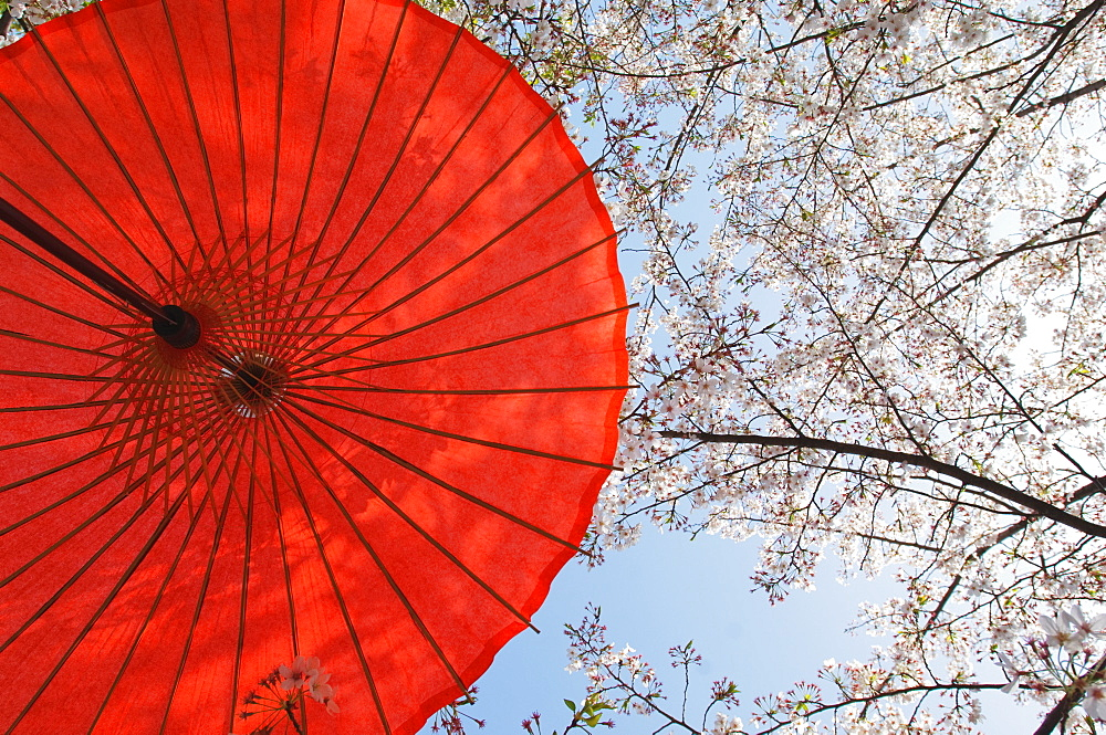 Red Parasol And Cherry Blossoms