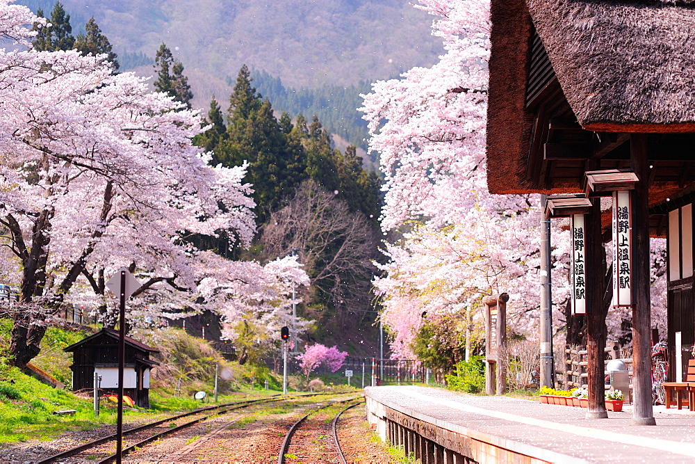 Cherry Blossoms, Yunokami, Fukushima Prefecture, Japan