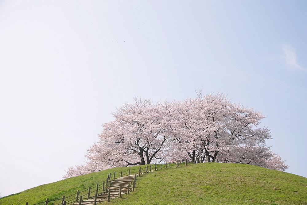 Cherry Trees in Park