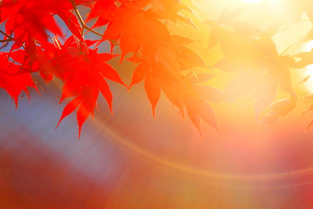 Autumn leaves - 1172-3024